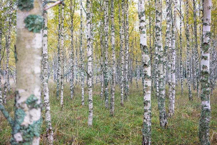 Birkenwald auf der Trekkingotur am Sörmlandsleden in Schweden