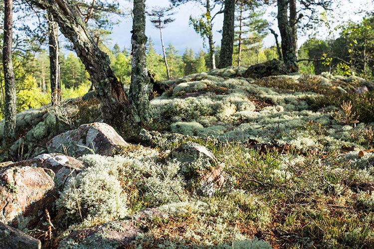 Moosbewachsene Steine und Bäume am Fernwanderweg Sörmlandsleden